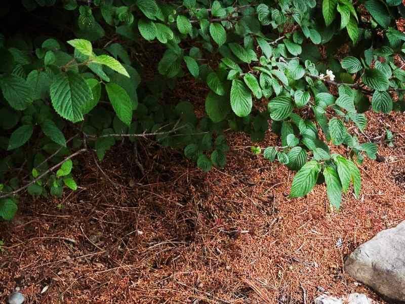 Pine Needle Mulch