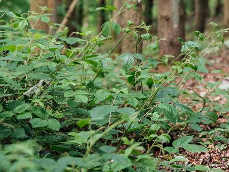 Stinging nettle in woods