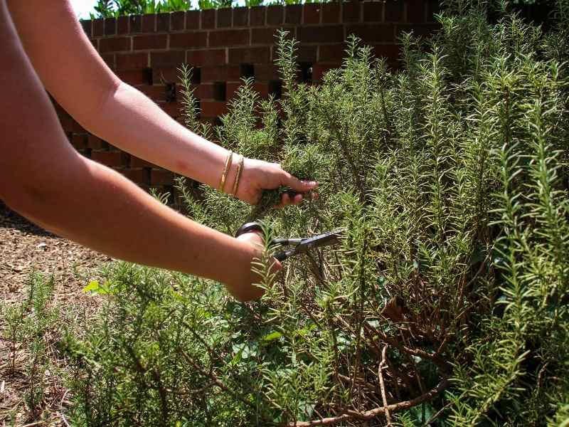 Harvesting Rosemary