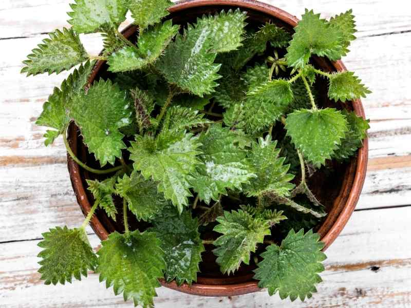 stinging nettle growing in container