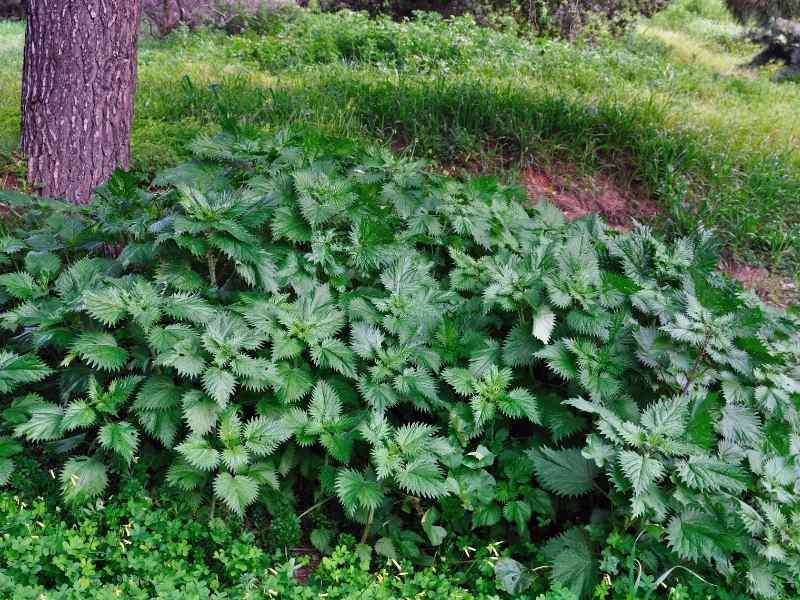 stinging nettle in food forest